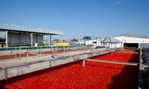 خط تولید رب گوجه فرنگی